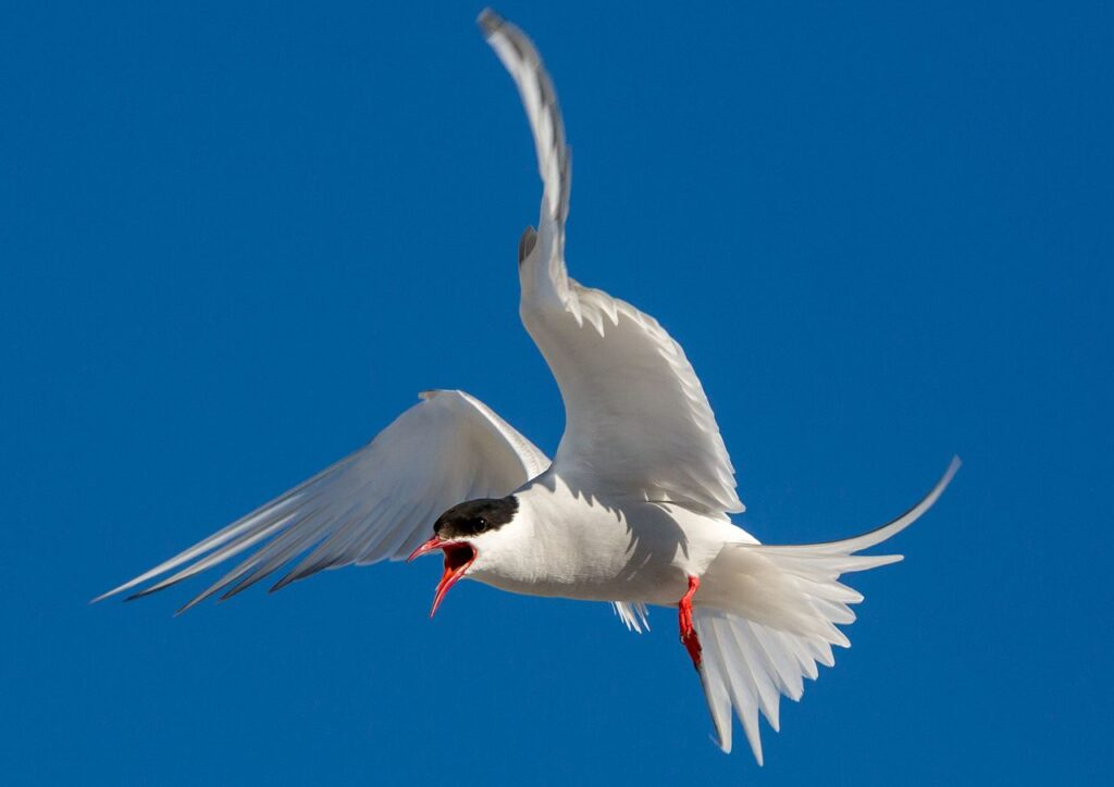 The Arctic tern undertakes the longest migration on the planet