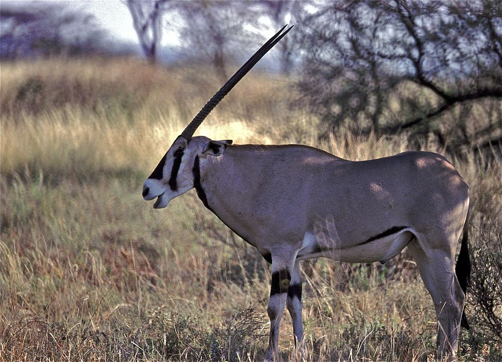 The oryx, which sometimes looks as though it only possesses one long horn when viewed from the side, is considered to have possibly inspired the legend of the unicorn