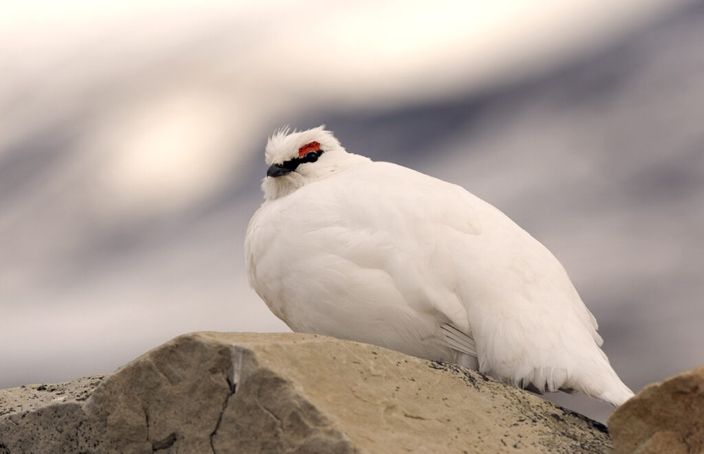 A ptarmigan in its white winter plumage sitting on a rock