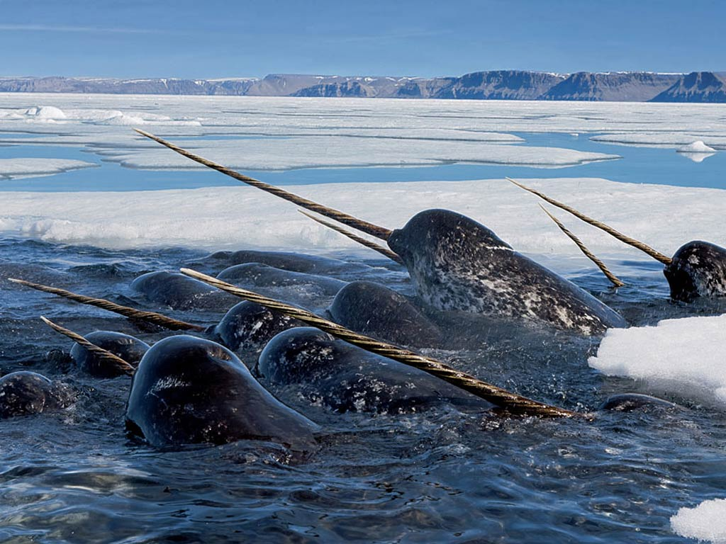 A group of narwhals sticking their heads and tusks out of the water in the Arctic