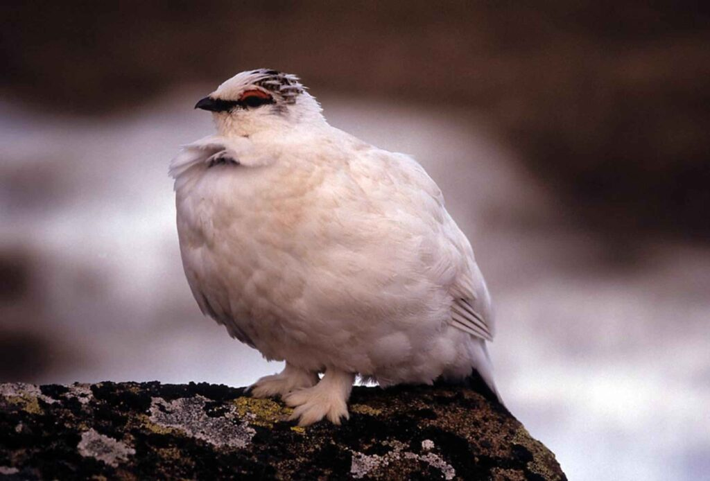 A ptarmigan in its white winter plumage standing on a rock