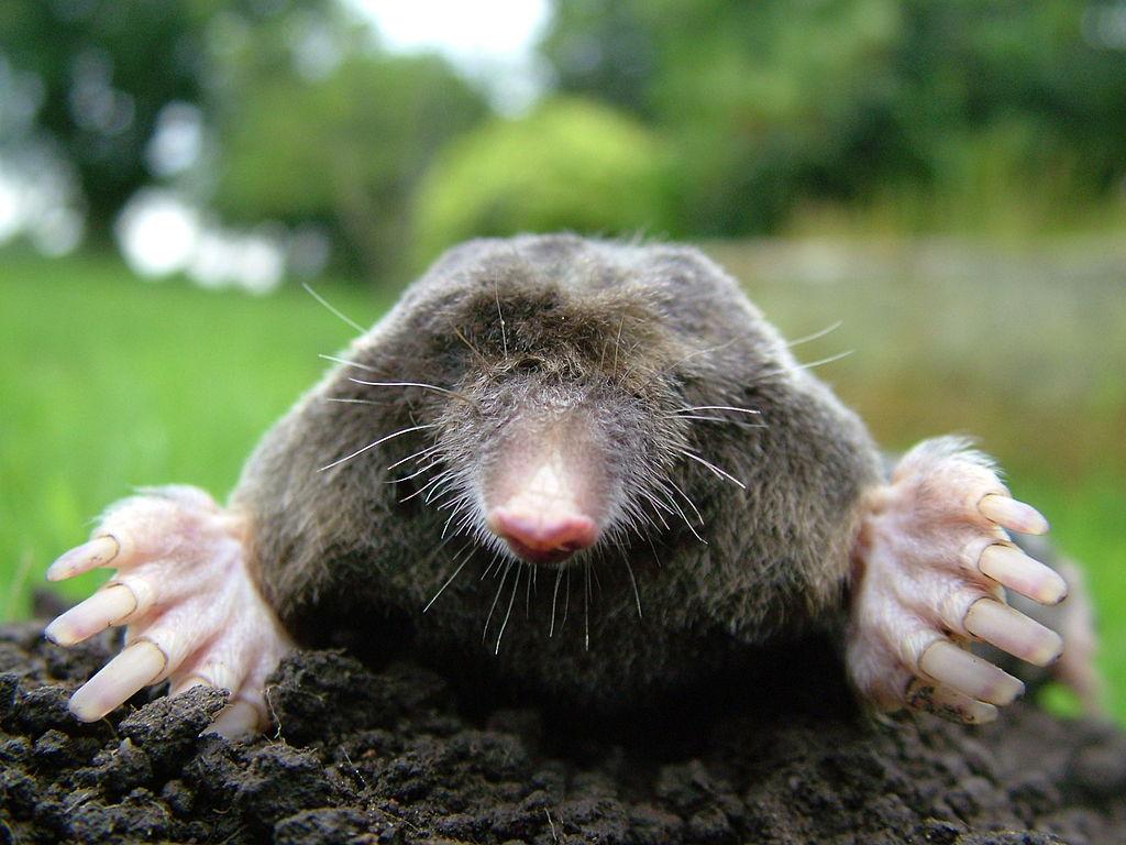 Close-up of a European mole
