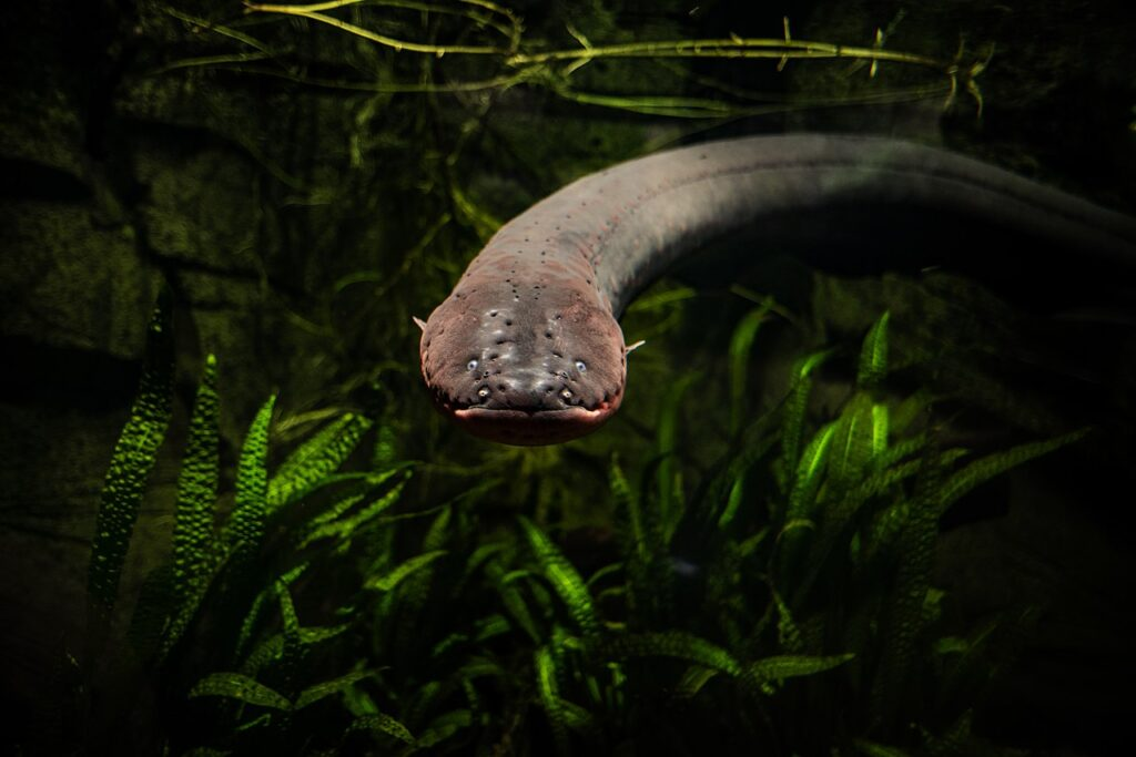 An electric eel in a tank