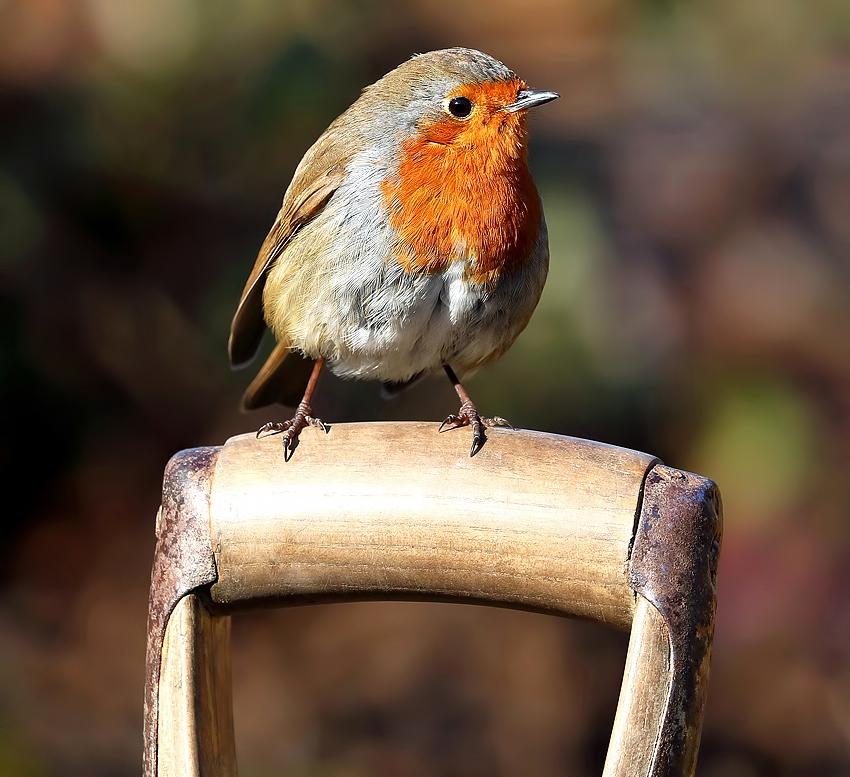 A robin perched on a garden spade