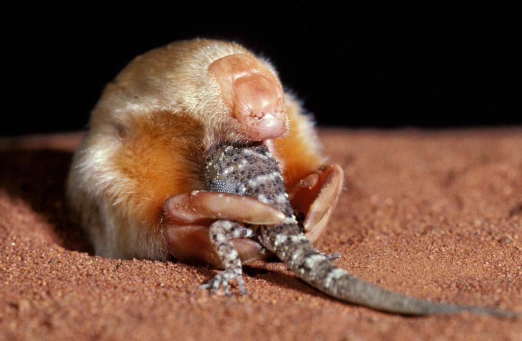 A marsupial mole eating a small lizard