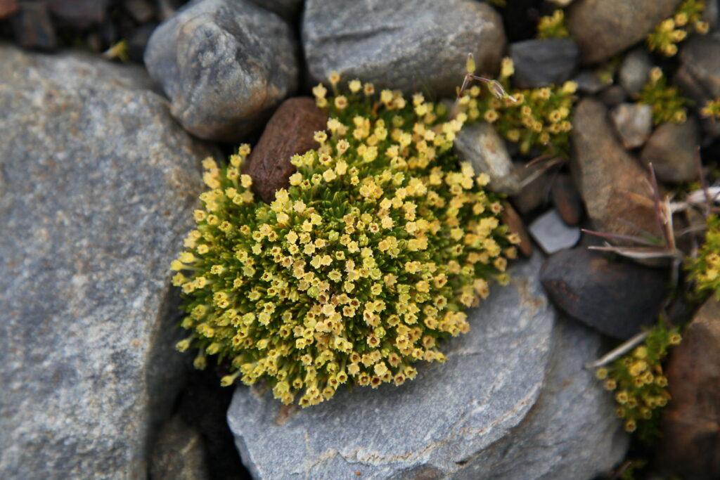 Antarctic pearlwort growing in between some rocks