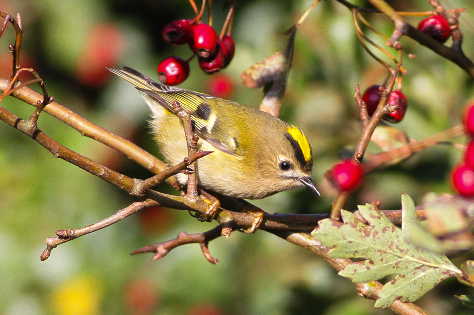 A goldcrest foraging for food among some red berries