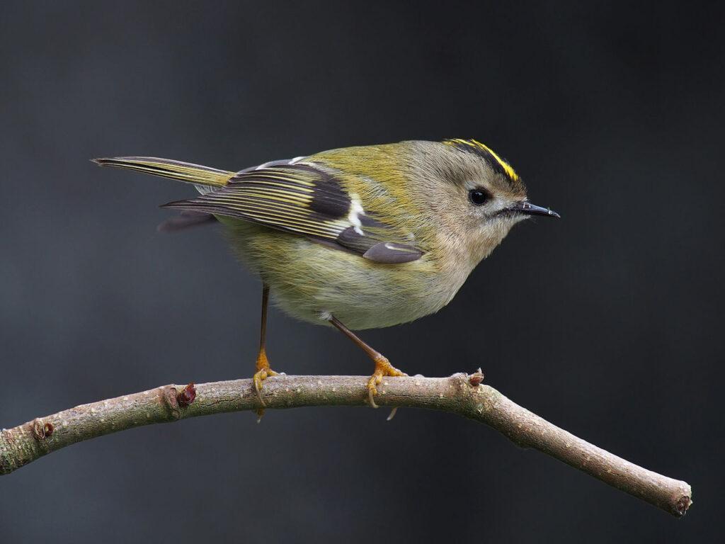 A goldcrest on a branch