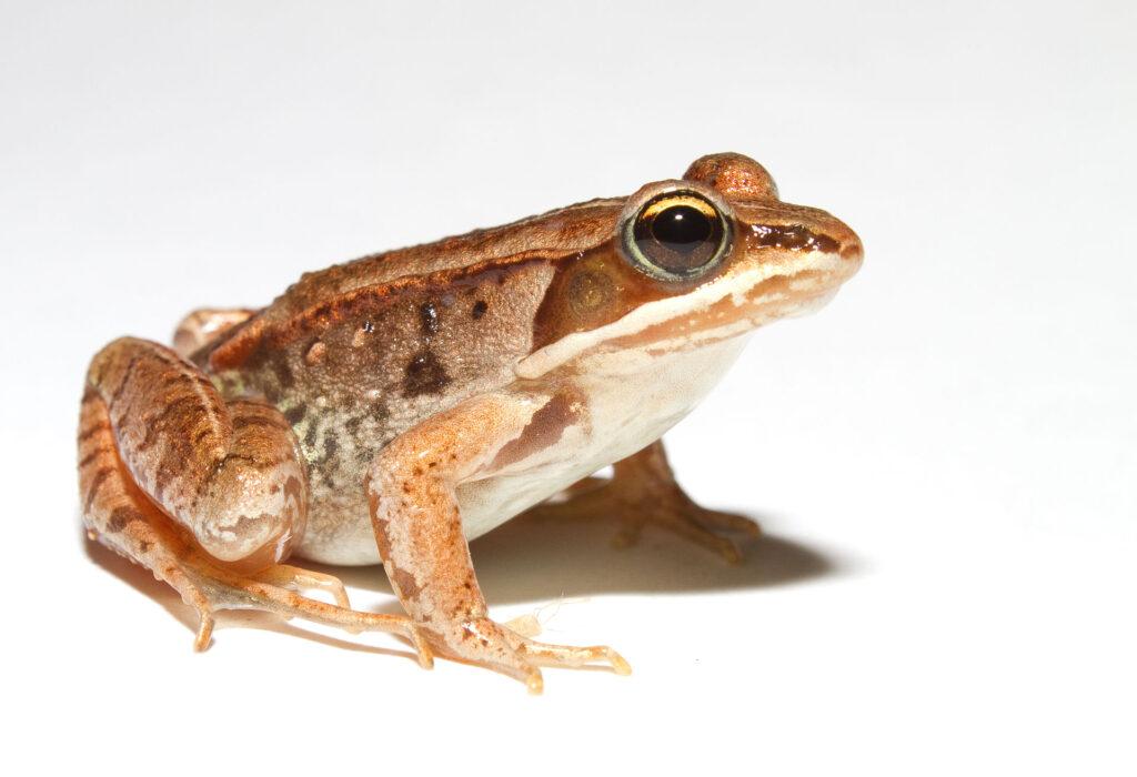 A wood frog
