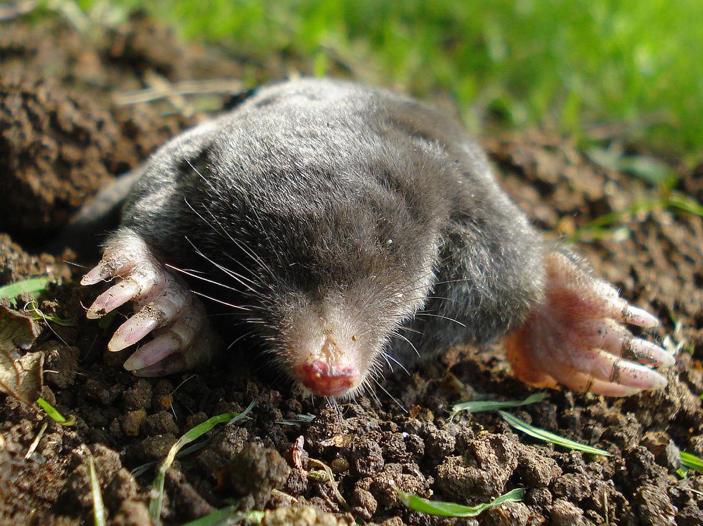 A European mole emerging from underground