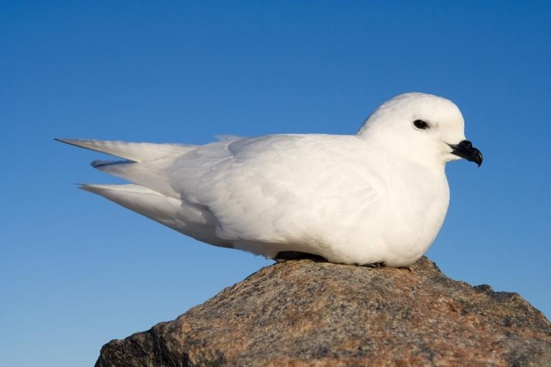 A snow petrel resting on a rock