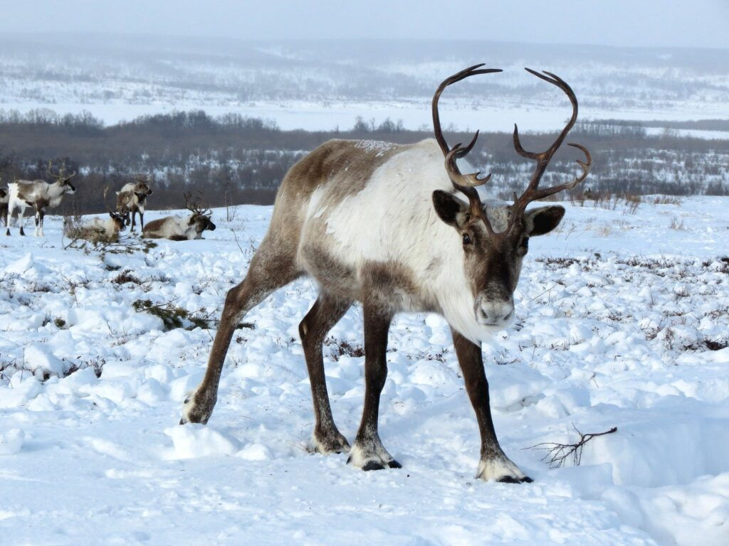 Some reindeer in the snow