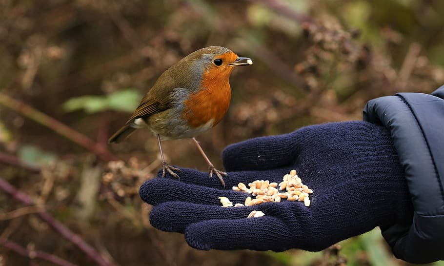 A robin eating seeds from a person's hand