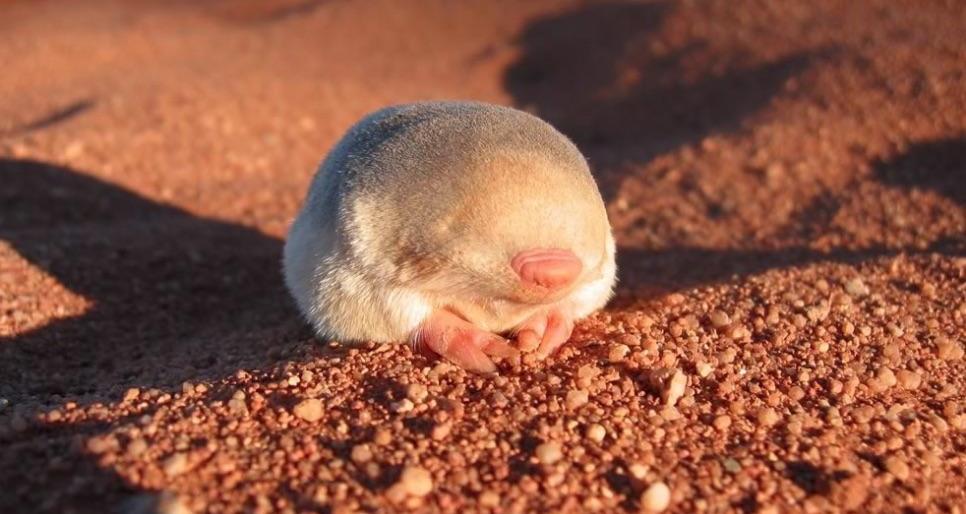 A golden mole