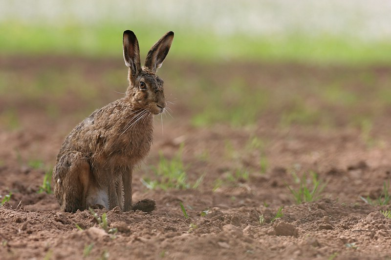 A brown hare sitting in a field