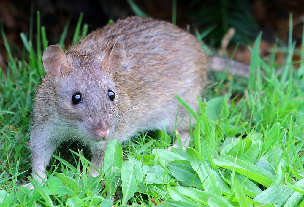 A brown rat in the grass