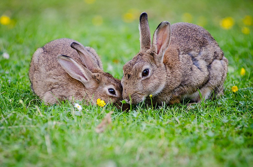 A mother rabbit and her youngster