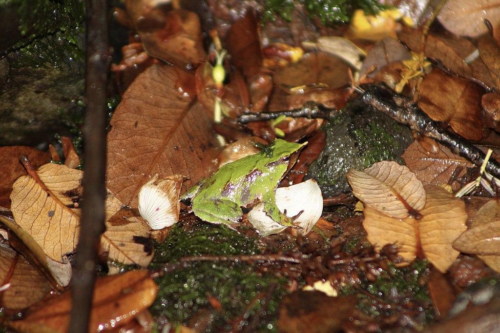 Darwins frog in the leaf litter