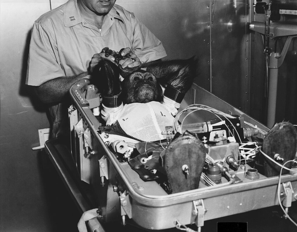 A chimpanzee named Enos being prepared for his space mission in 1961
