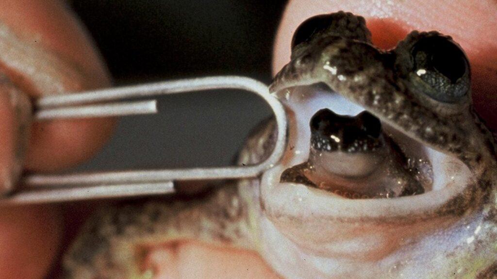 A female gastric-brooding frog regurgitating one of her froglets