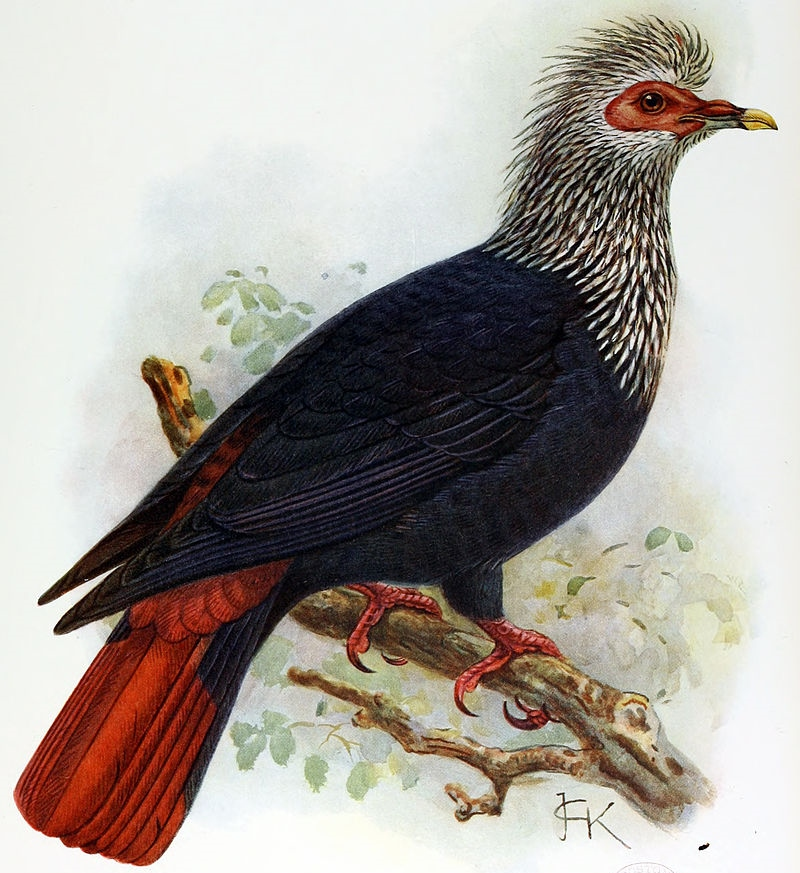 A painting of a Mauritius blue pigeon
