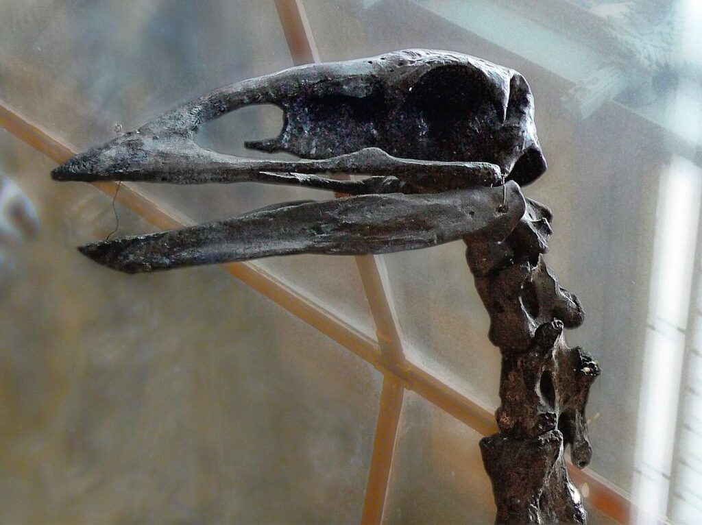 The skull of an elephant bird in a museum