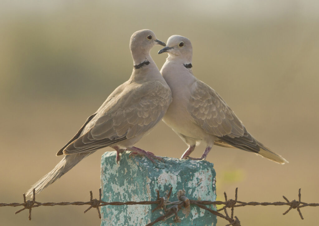 A pair of courting collared doves on a post