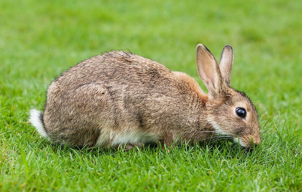 A rabbit grazing