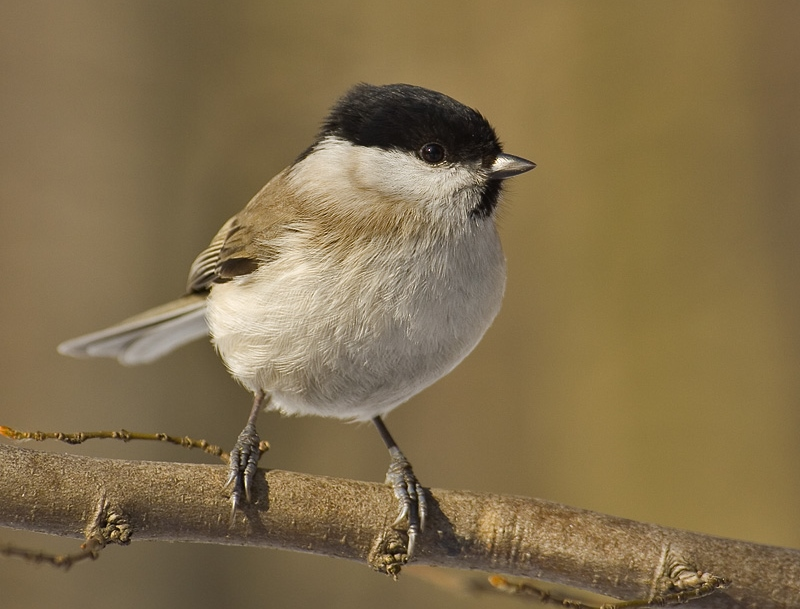 A marsh tit on a branch