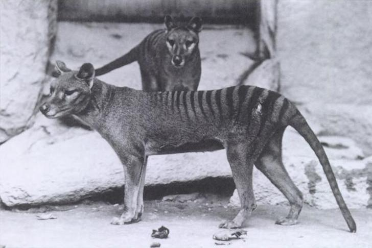 Black and white photo of two thylacines in a zoo