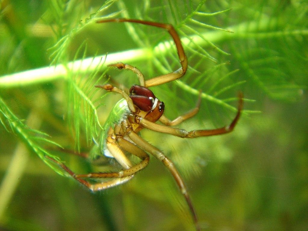 A water spider