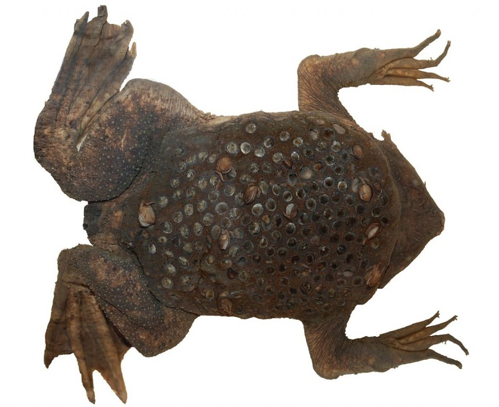 A preserved museum specimen of a female Surinam toad with toadlets emerging from her back