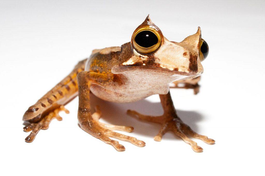 Marsupial frog