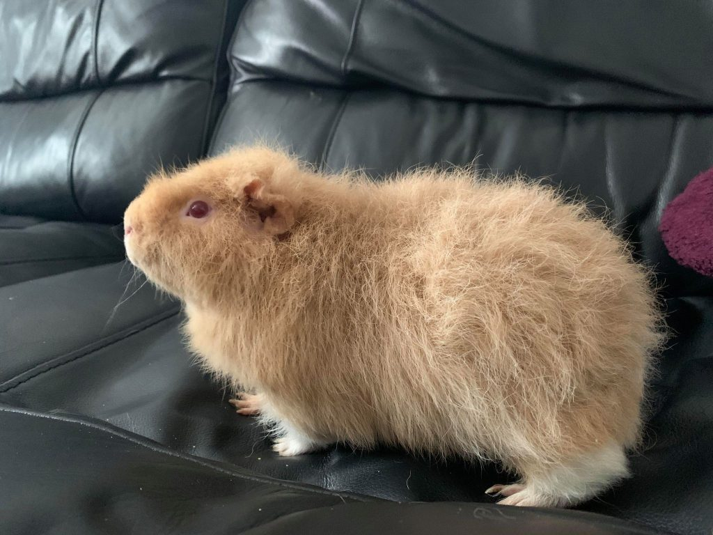 Our guinea pig, Haymitch