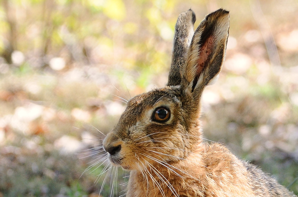 Close-up of a hare's head