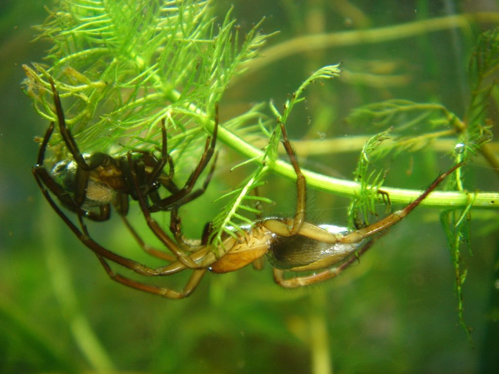 A male (right) and female (left) water spider