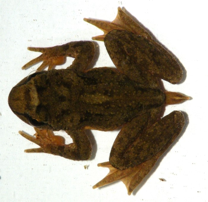 A tailed frog viewed from above