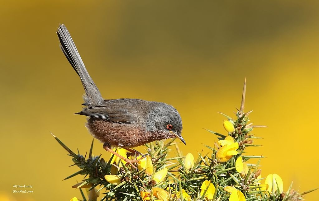 Dartford warbler on a gorse bush