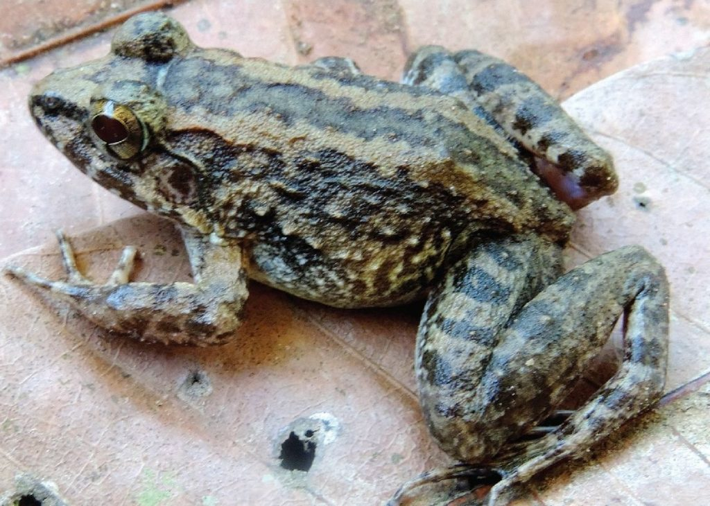 Nectophrynoides frog