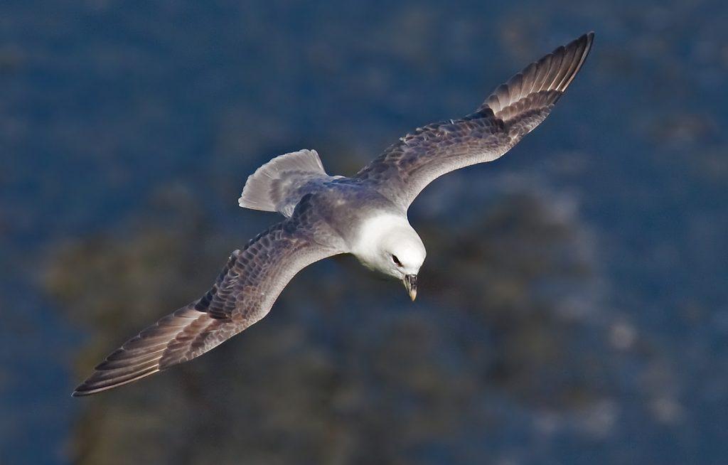 A fulmar gliding through the air
