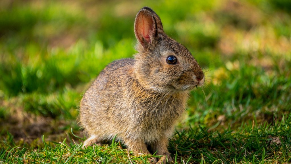 A young rabbit sitting on the grass