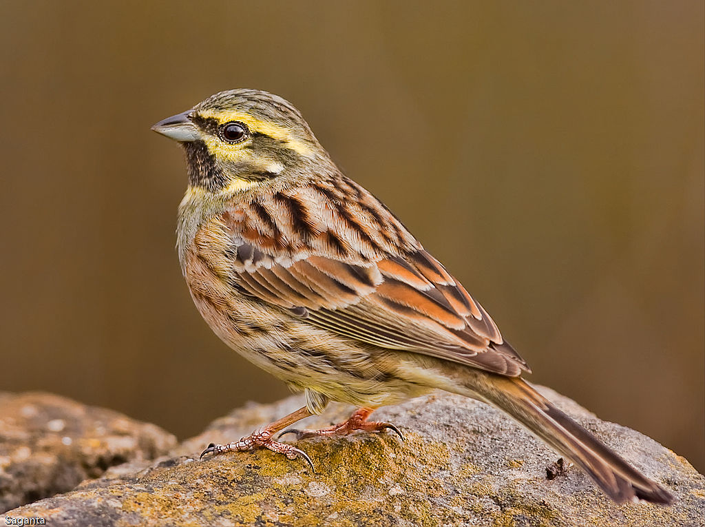A cirl bunting on a rock