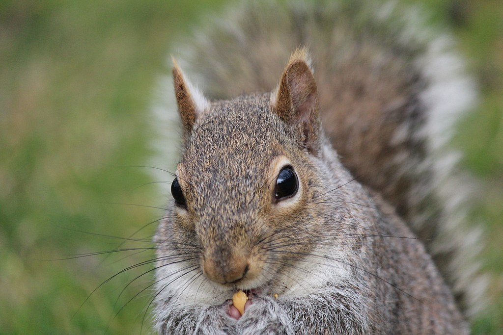 Close-up of a grey squirrel eating a nut