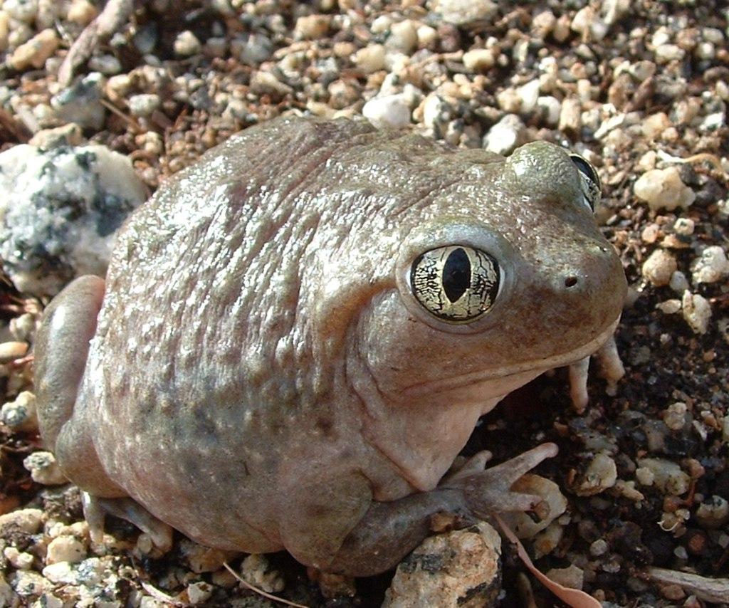 A western spadefoot toad