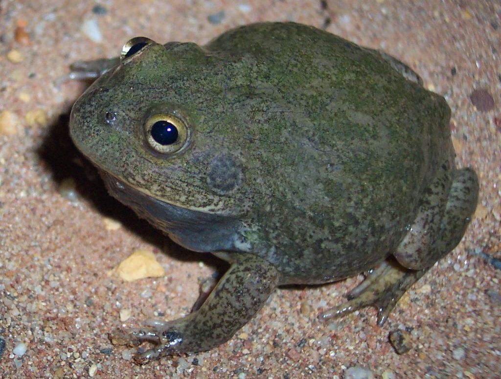 An Australian water-holding frog