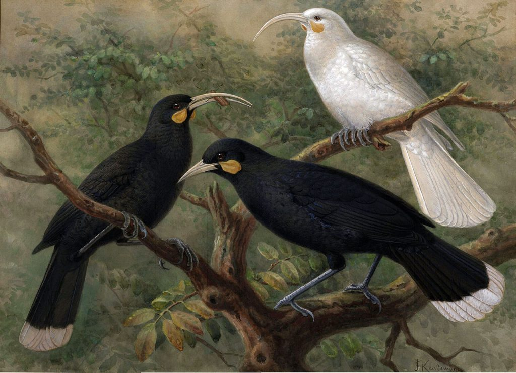 A painting of a female and male huia, along with a white female