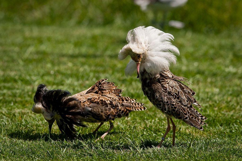 Two male ruff in breeding plumage