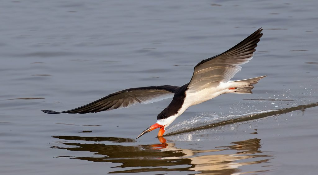 A black skimmer flying low over the water