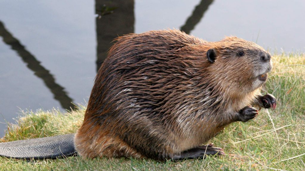 A beaver standing on its hind feet