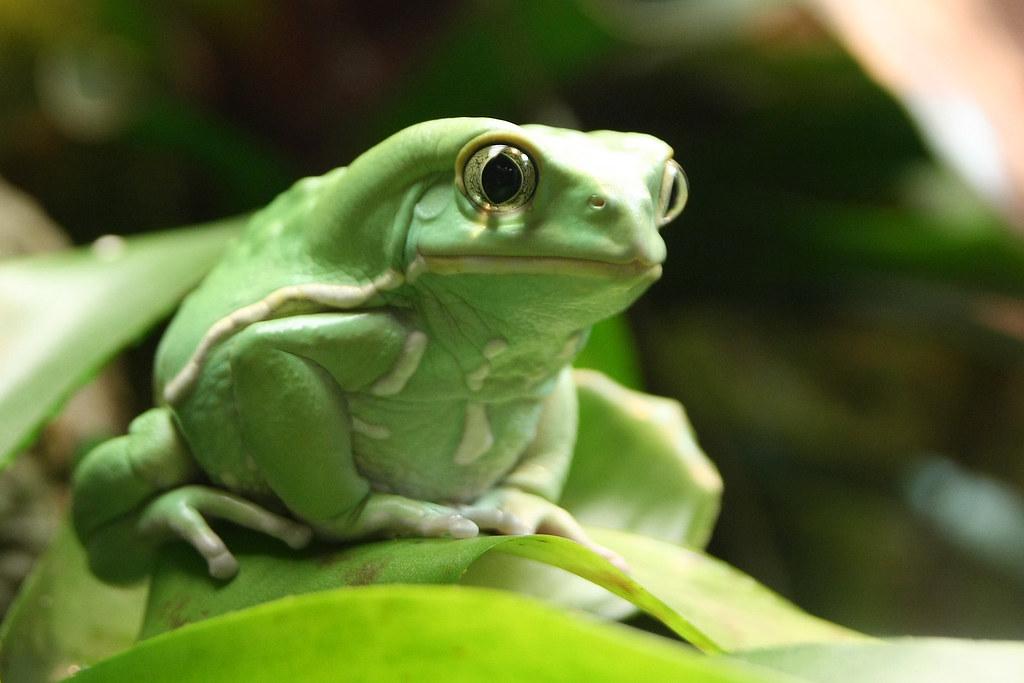 Waxy monkey tree frog sitting on a leaf